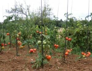 tuteurs-tomates3