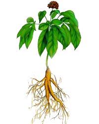 ginseng-plant_1