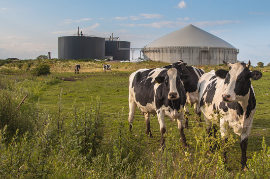 Biogas plant with Cows