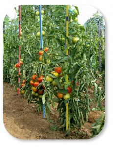 tuteurs-tomates