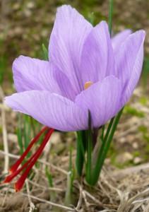 safran fleur seule