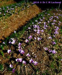 safran fleurs