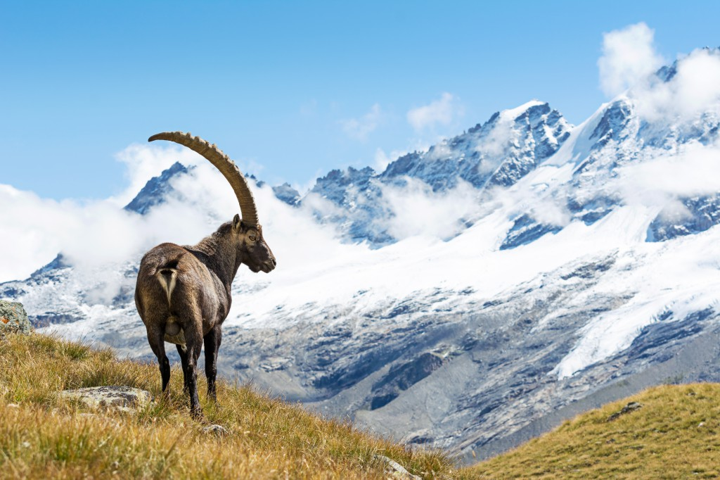 Wild ibex in the italian Alps. Gran Paradiso National Park, Italy