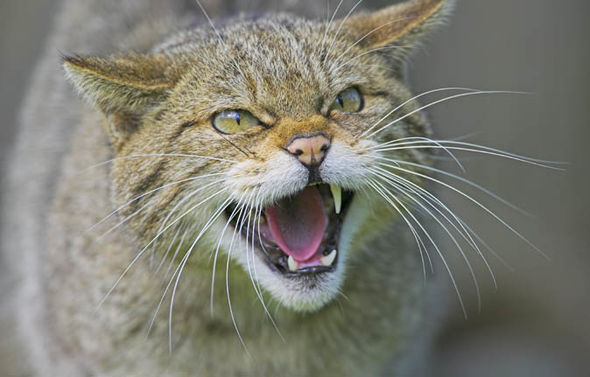 Scottish-wildcats-1286324