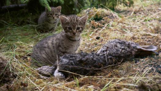 Wildcat-Kits-12-Female-still-eating-Pic-Steve-Piper-525x295
