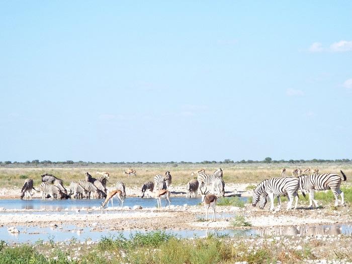Les troupeaux d'animaux dans la réserve du parc Etosha