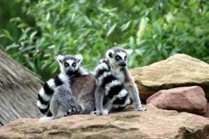 lemurs-1374426_960_720