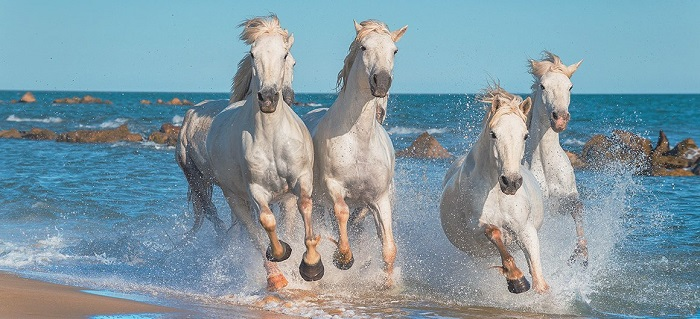 horses_camargue_leboat_glg