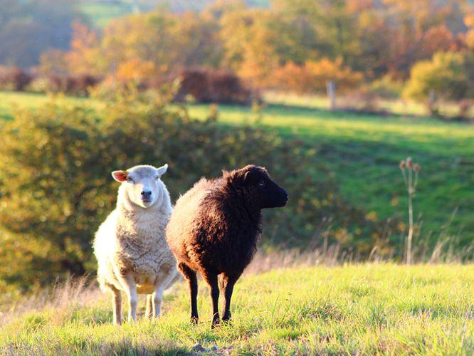 mouton-ouessant